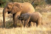 Elephant nursing (Loxodanta africana) by Danita Delimont