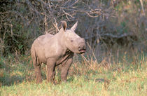 White Rhinoceros young by Danita Delimont