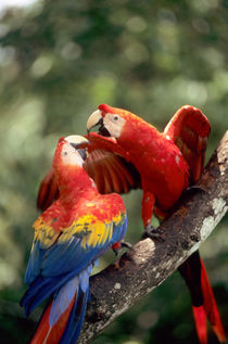 Pair of Scarlet Macaws (Ara macao) on a branch by Danita Delimont