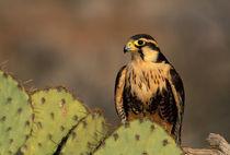 Aplomado falcon (c) by Danita Delimont
