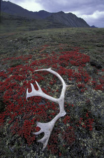 Caribou antler lies amid alpine bearberry in the Northern Brooks Range von Danita Delimont