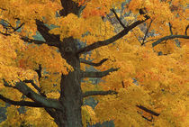 Close-up of sugar maple tree in autumn by Danita Delimont
