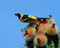 Eating cactus blossum fruit by Danita Delimont