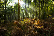 Rays of sunlight streaming through the Forest of Dean in the Fall by Danita Delimont