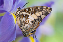 Sammamish Washington Tropical Butterflies photograph of Charaxes etesipe the Savannah Charaxes from Africa on iris by Danita Delimont