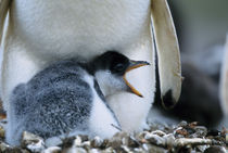Gentoo penguin chick next to parent by Danita Delimont