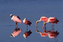 Five Roseate Spoonbills (Ajaia ajaja) feeding and preening by Danita Delimont