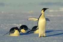 Emperor penguins tobogganing by Danita Delimont
