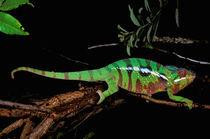 Chameleon (Furcifer pardalis) von Danita Delimont