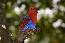 Female Eclectus Parrot von Danita Delimont