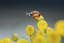 Ladybug on yellow tansy flower von Danita Delimont