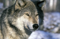 Wolf (Canis lupus) by Danita Delimont