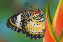 Cethosia cyane on tropical Heliconia Flower by Danita Delimont