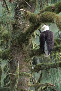 Southeast Alaska Bald eagle (Haliaeetus leucocephalus) in tree by Danita Delimont