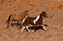 Horses roaming the Big Horn MT of Shell Wyoming von Danita Delimont