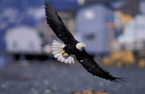 Kenai Peninsula Bald eagle flying over beach houses by Danita Delimont
