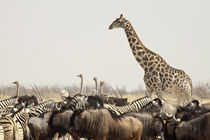 A lone giraffe stands tall above the many animals at a waterhole by Danita Delimont