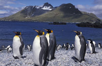 South Georgia Island King penguins and chinstrap penguins on beach by Danita Delimont