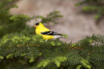 American Goldfinch male in a tree von Danita Delimont