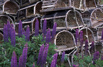 Wild lupine and lobster pots by Danita Delimont