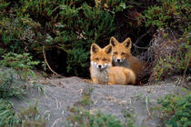 Den of red foxes von Danita Delimont