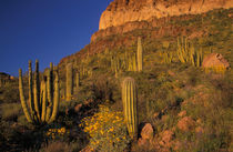 Flowering Brittlebrush and Saguaro and Organ Pipe cacti by Danita Delimont
