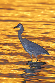 Stands in golden water at sunset von Danita Delimont