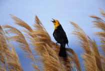 Yellow-headed blackbird von Danita Delimont
