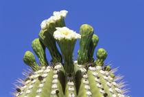 Saguaro Cactus Flower (Carnegiea gigantea) von Danita Delimont