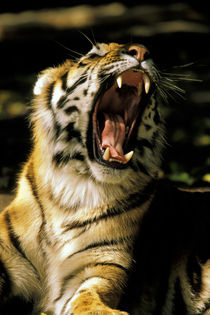 Tiger with open mouth von Danita Delimont