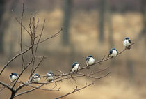 Tree swallows perched on limb in a single row by Danita Delimont