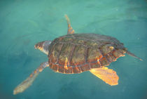 Green Turtle (Chelonia myches) by Danita Delimont