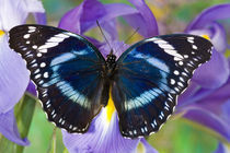 Sammamish Washington Tropical Butterflies photograph of Hypolimnas antevorta the Amani Eggfly Butterfly von Danita Delimont