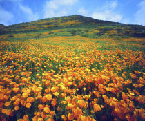 California poppies carpeting a hillside by Danita Delimont