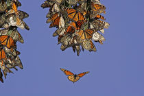 Monarch butterflies clustering at a winter roost by Danita Delimont