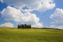 Cypress Trees on the hillside by Danita Delimont