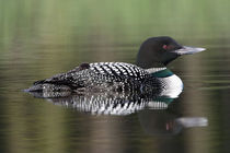 Common Loon (Gavia immer) swimming with chick on back by Danita Delimont