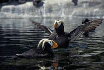 Alaska Tufted puffins von Danita Delimont