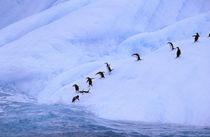 Chinstrap Penguins on icebergs (Pygoscelis antarctica) von Danita Delimont