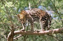 Ocelot (Leopardus pardalis) by Danita Delimont