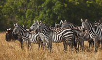 Burchell's Zebras (Equus Burchellii) as seen in the Masai Mara von Danita Delimont