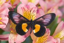 Miyana meyeri butterfly from PNG von Danita Delimont