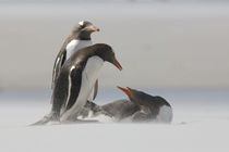 Gentoo penguins in a sand storm by Danita Delimont