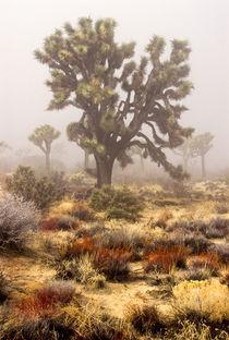 Joshua trees ('Yucca brevifolia') by Danita Delimont