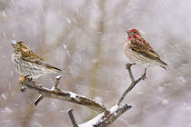 Female and male Cassin's finches in a blizzard von Danita Delimont