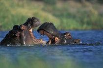 Hippopotami (Hippopotamus amphibius) fight by Khwai River von Danita Delimont
