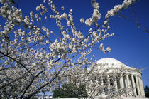 Cherry Blossom Festival and the Jefferson Memorial by Danita Delimont