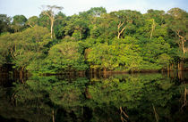 Rainforest river bank reflected in the water of the river by Danita Delimont