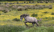 A horse running in a field of yellow wildflowers in the Irish counrtyside von Danita Delimont