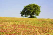 Lone Tree on Hill Topp in Field of Clover by Danita Delimont